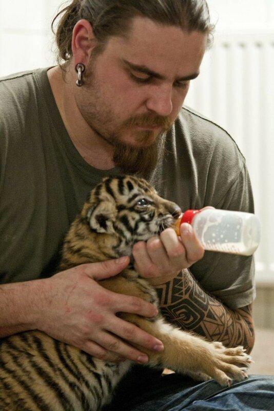 Тигренок в зоопарке Дьера, Венгрия: милые фотографии