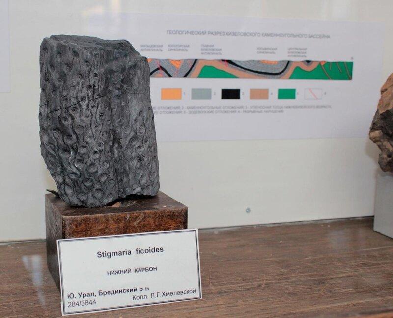Stigmaria ficoides (Нижний карбон)