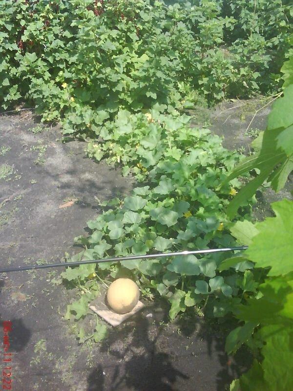 Бахчевые культуры: арбуз, дыня
