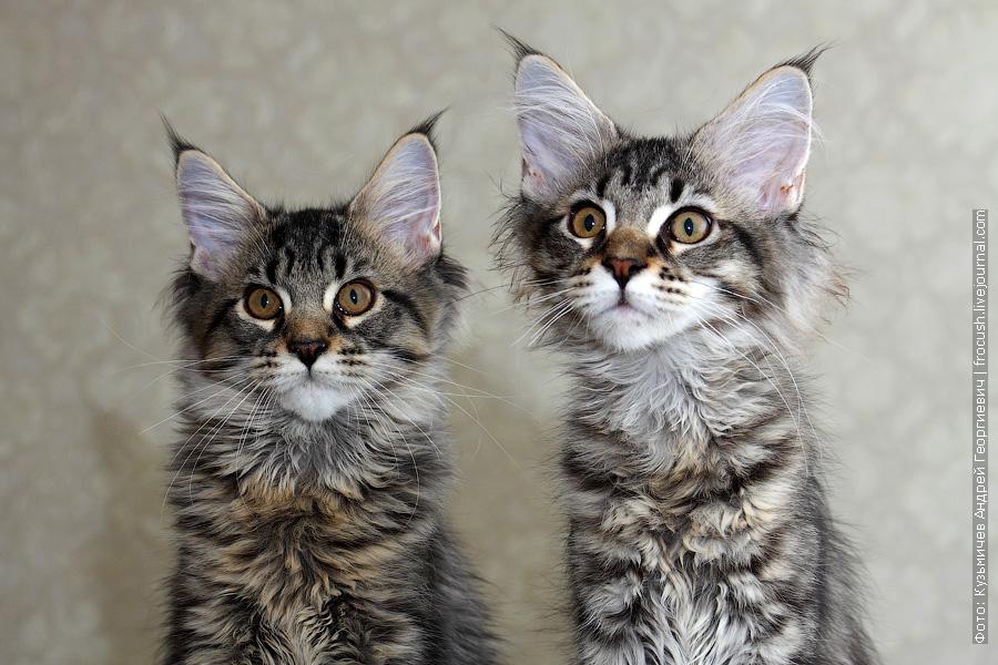 трехмесячные котята мейн кун