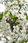 Шарообразное цветение вишни