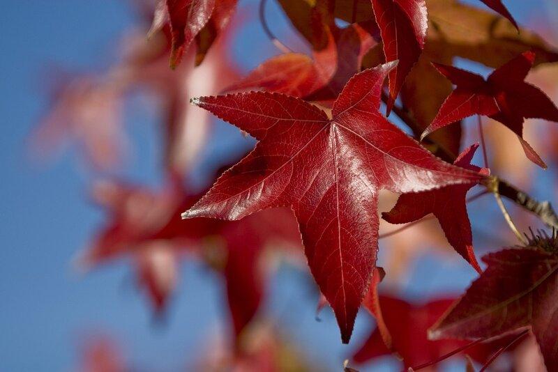 Скачать обои листья, клен, красные, осень бесплатно для...