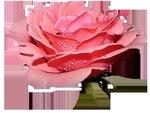 rose11.png