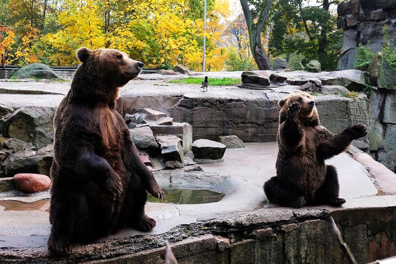 Медвежья парочка в Калининградском зоопарке