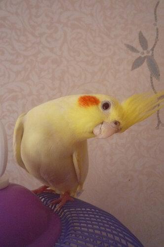 Попугаи. 0_6730f_a4a03c89_L