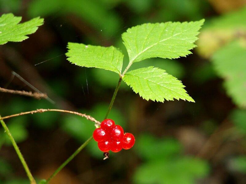 Костяника (Rubus saxatilis)