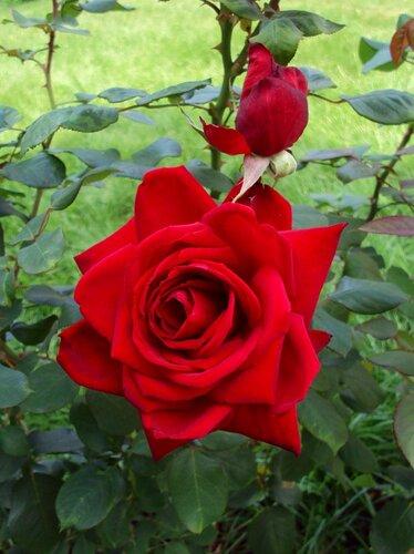 Роза и будущая роза.