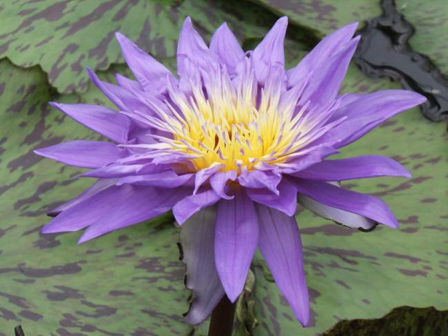 квітка латаття