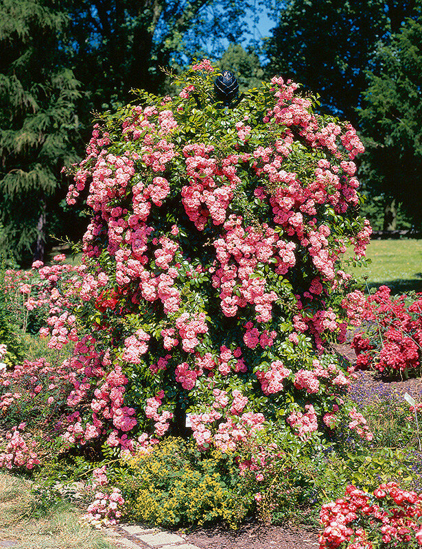 Роза на обелиске.