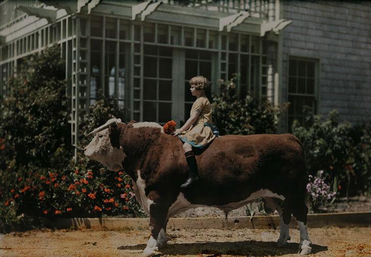 Ребенок сидит верхом на быке герефордской породы, Калифорния, 1926 год.