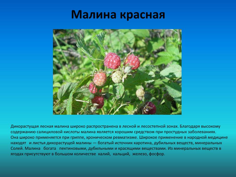 Доклад лекарственные и съедобные растения 3930