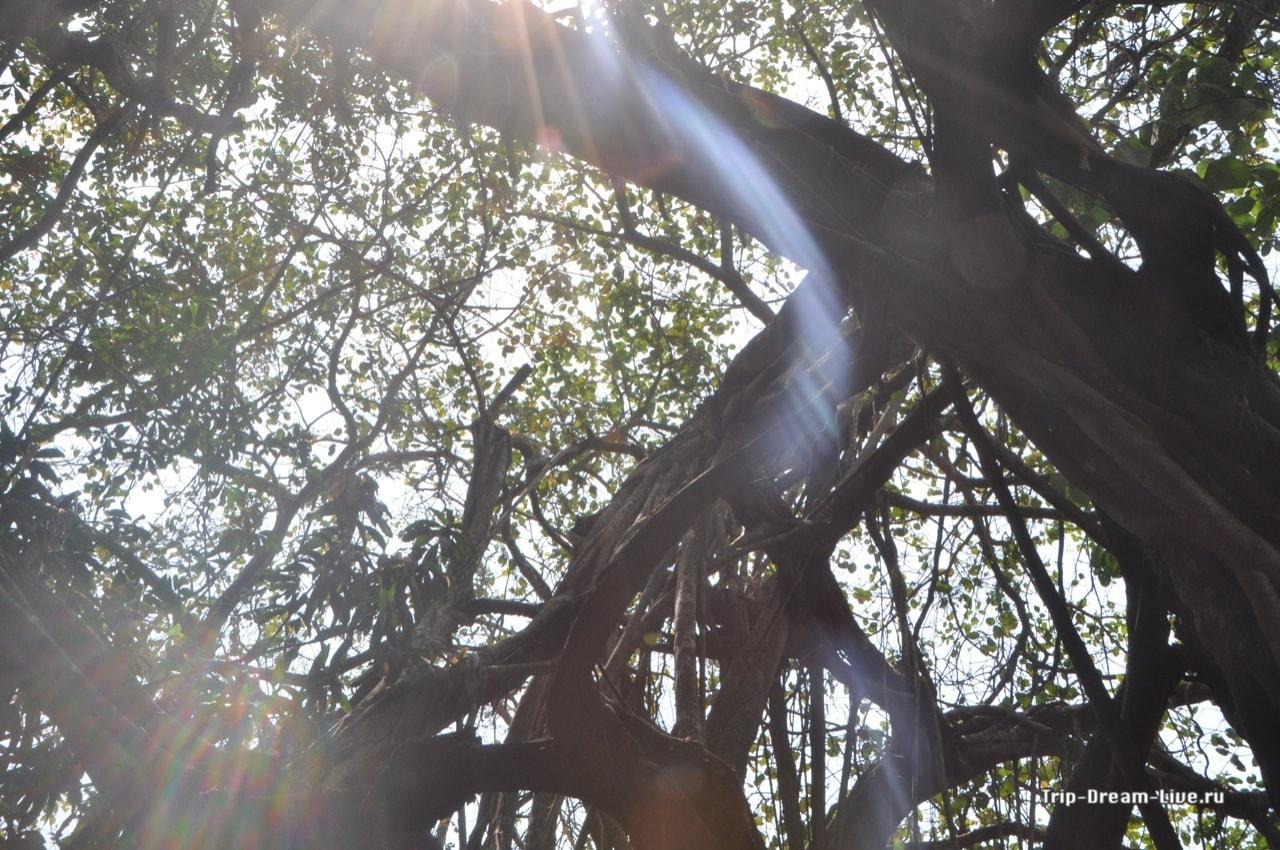 Солнечный луч в ветвях арамбольского баньяна