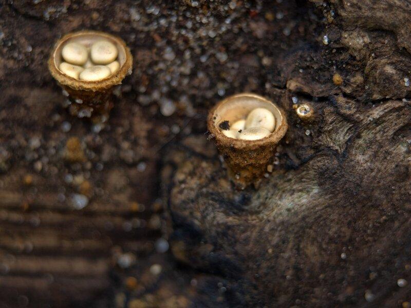 Бокальчик гладкий (Crucibulum laeve) PA089708.jpg
