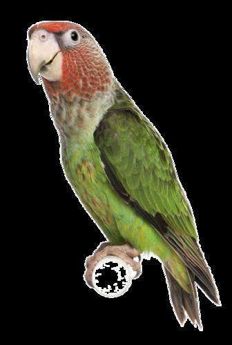 parrots (2).png