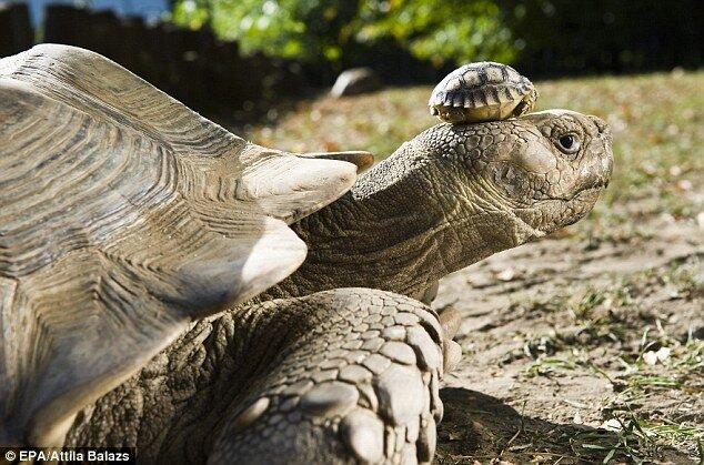 23 у черепахи: