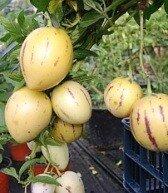 фрукт пепино_frukt pepino