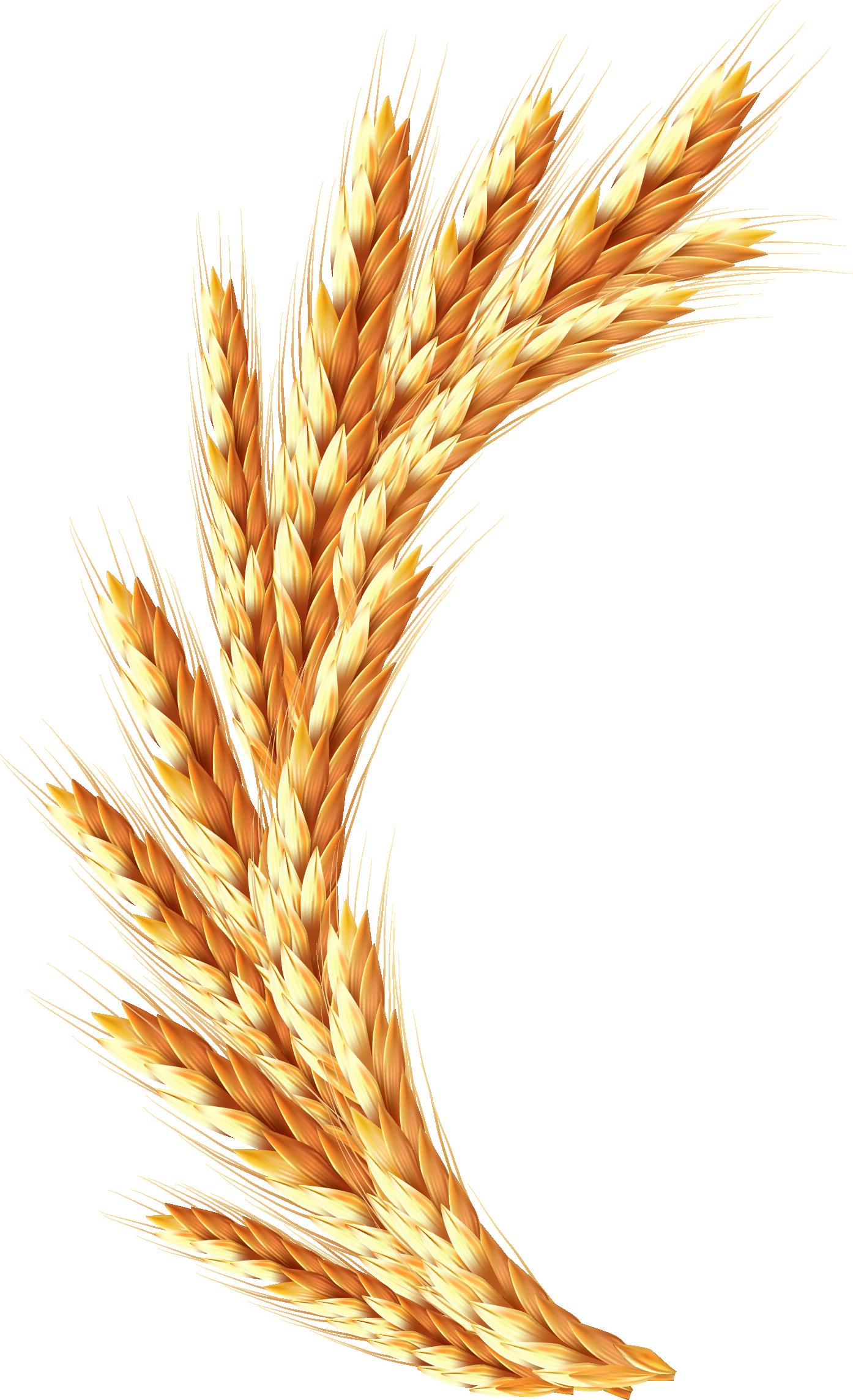 Рождением, картинка с колосками пшеницы