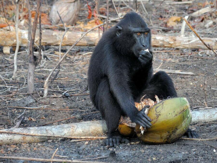 Хохлатый павиан ест кокос