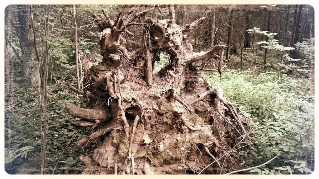 Старый корень