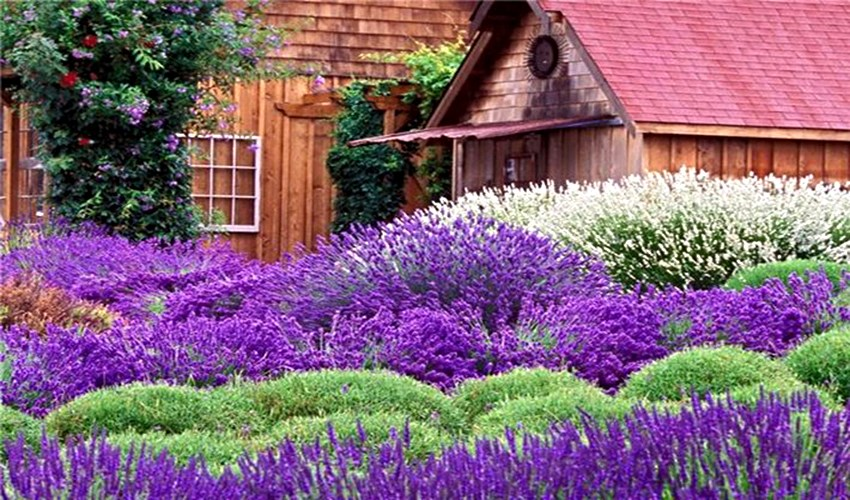 Purple landscapes of Provence_5