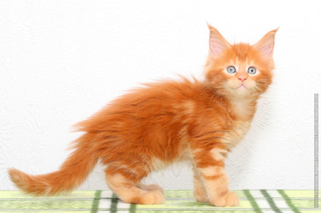 красный котенок Мейн-кун продажа в Москве