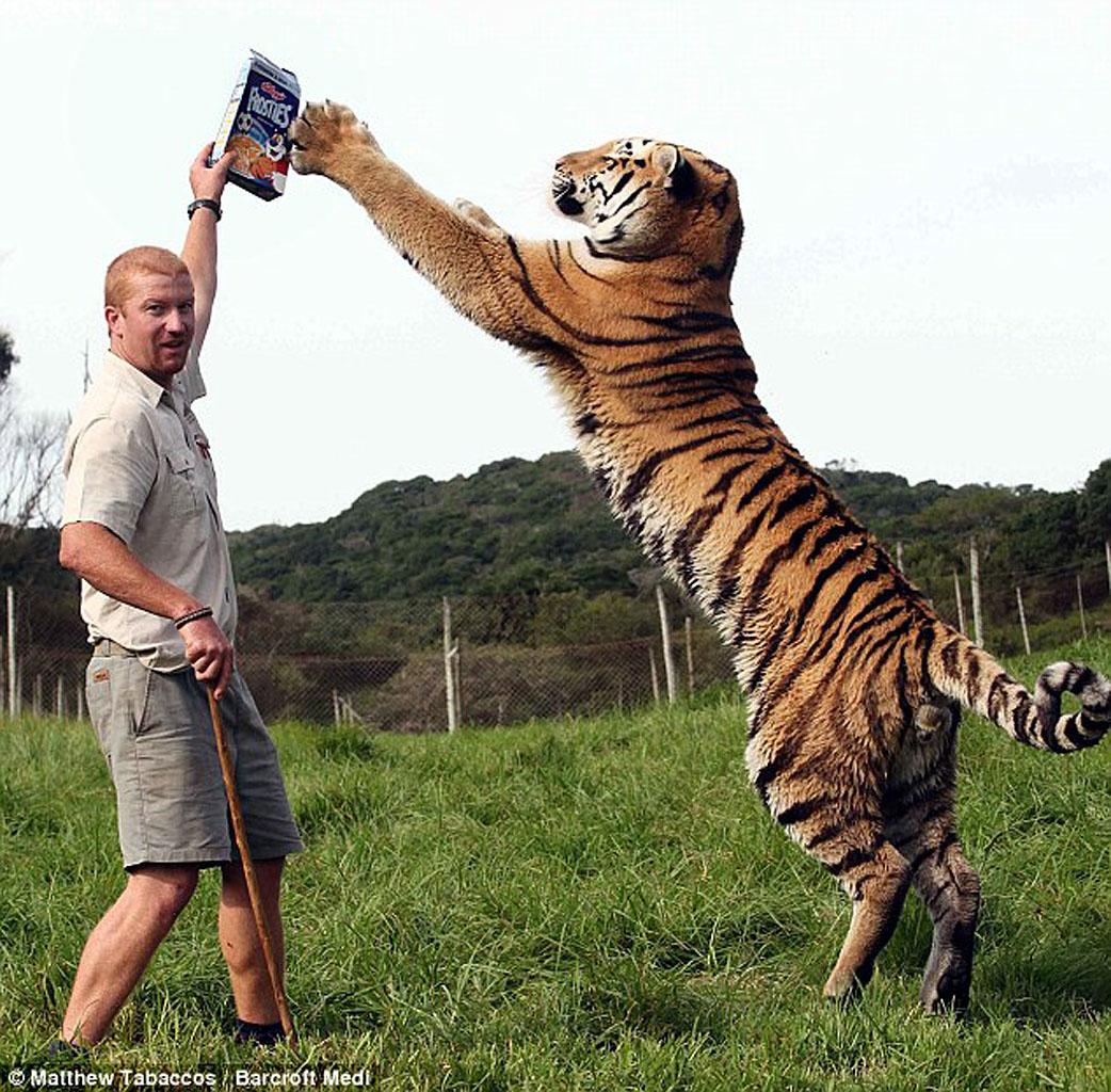Амурский тигр Шошо и его друг, смотритель парка для тигров в Южной Африке возле города Порт-Элизабет, Эшли Гомберт(1280_b)