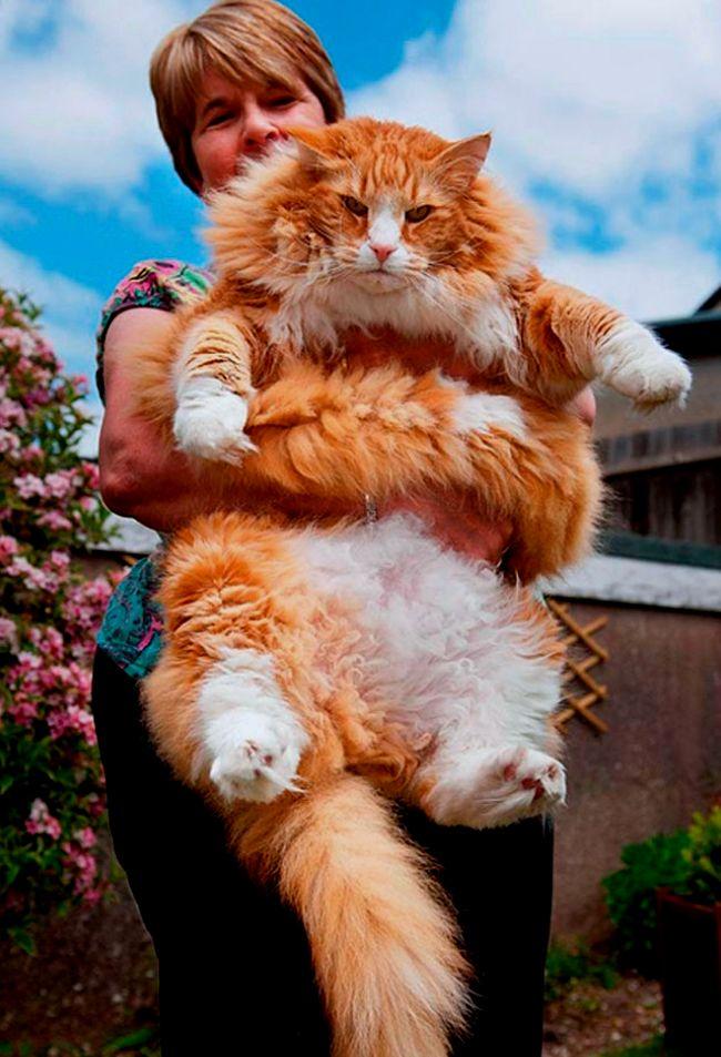Кот рыжий.jpg
