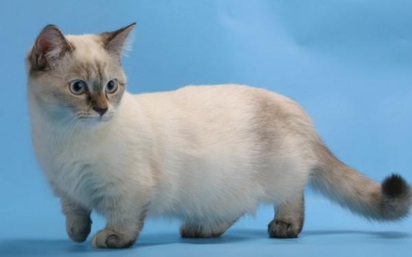 манчкин-порода кошек фото