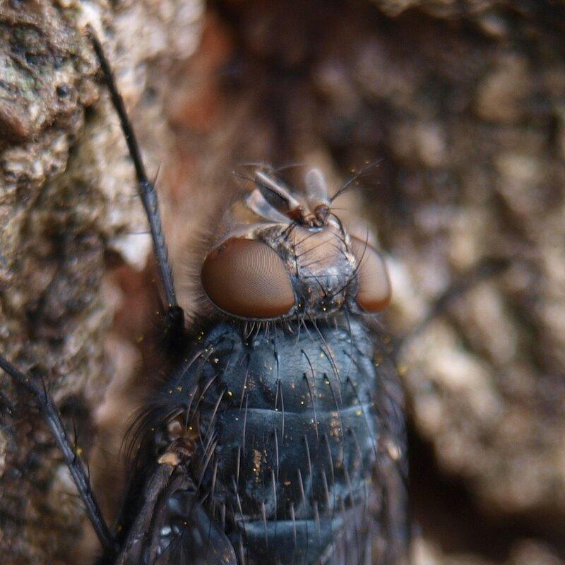 Красноголовая синяя муха (Calliphora vicina) PA089693_fragment