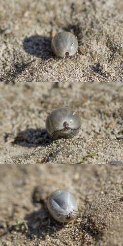 Напившаяся крови самка клеща рода Ixodes (Ixodidae) Автор фото: Владимир Брюхов