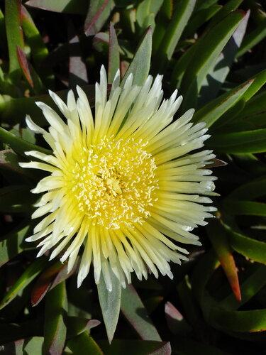 Цветок КАРПОБРОТУС