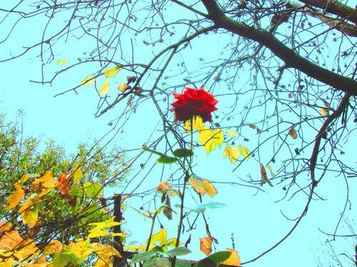 Упорная осення роза