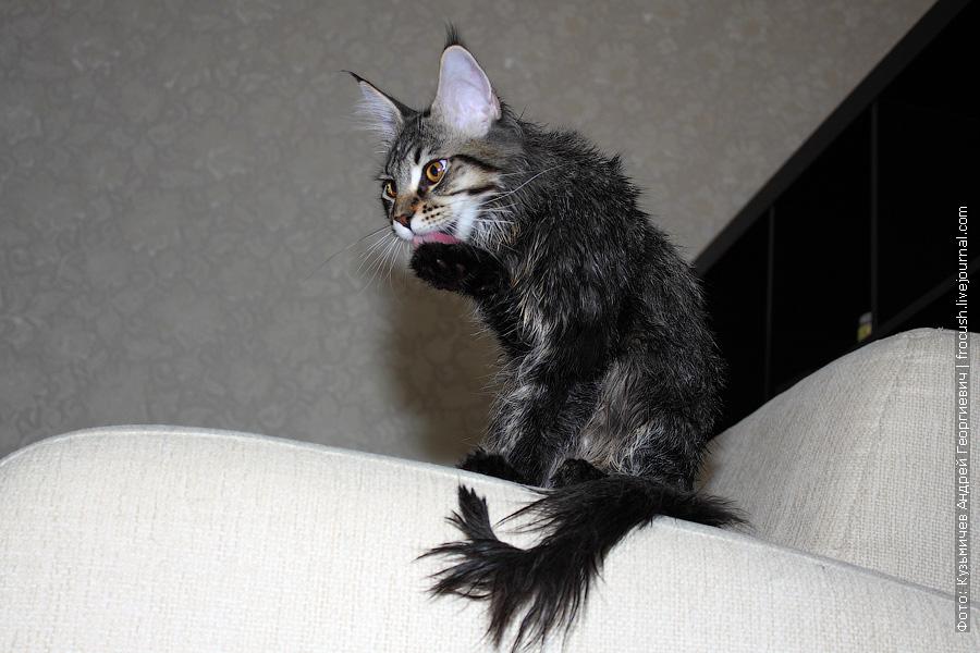 котенок вылизывает лапку