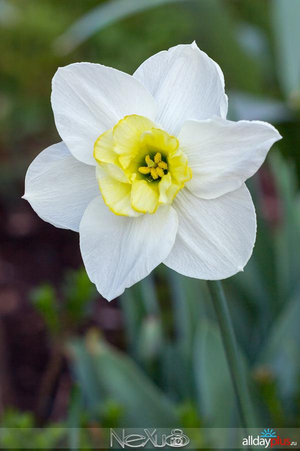 Я люблю все цветы, b50выпуск 155 | Нарцисс «Ice King» и «Lemon Beauty».