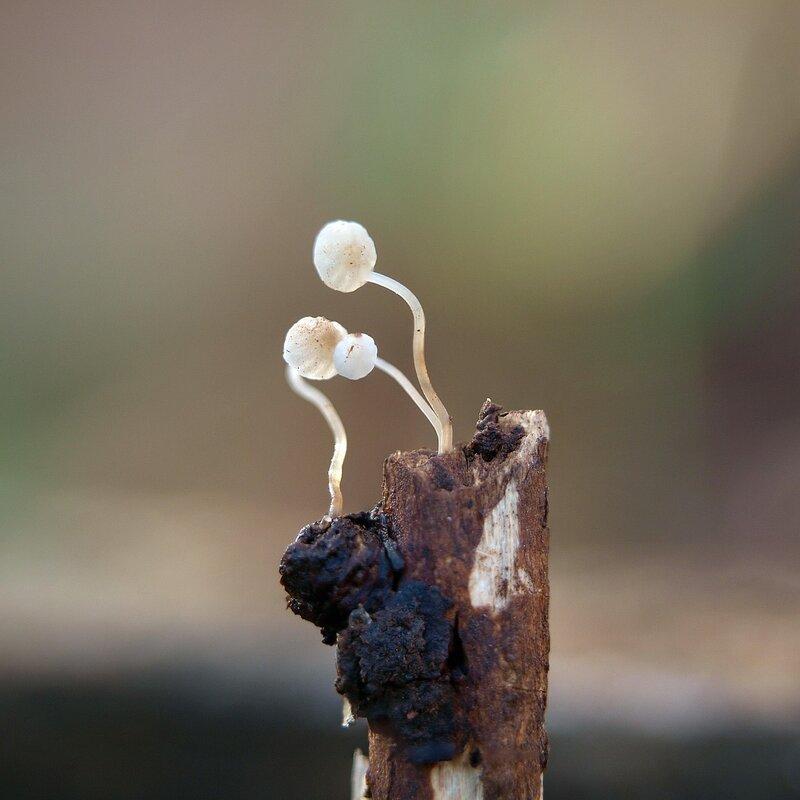 Негниючник веточковый (Marasmius ramealis)