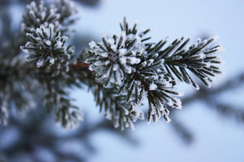 елки, сосны, лес, зимний лес