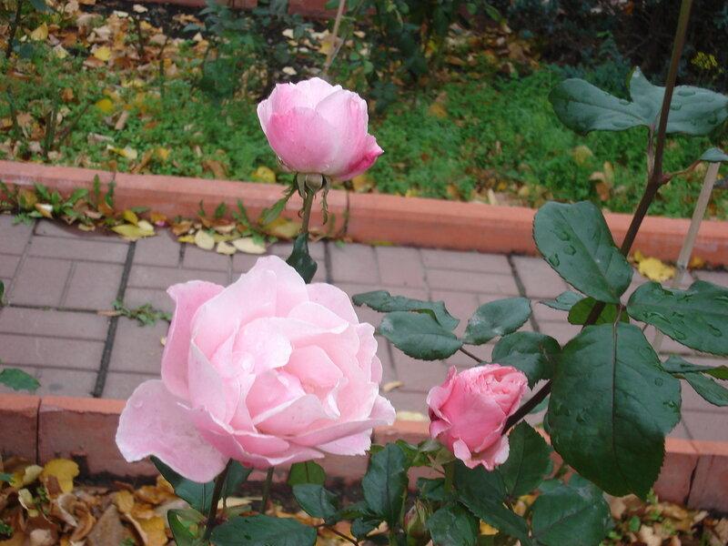 монастырские розы