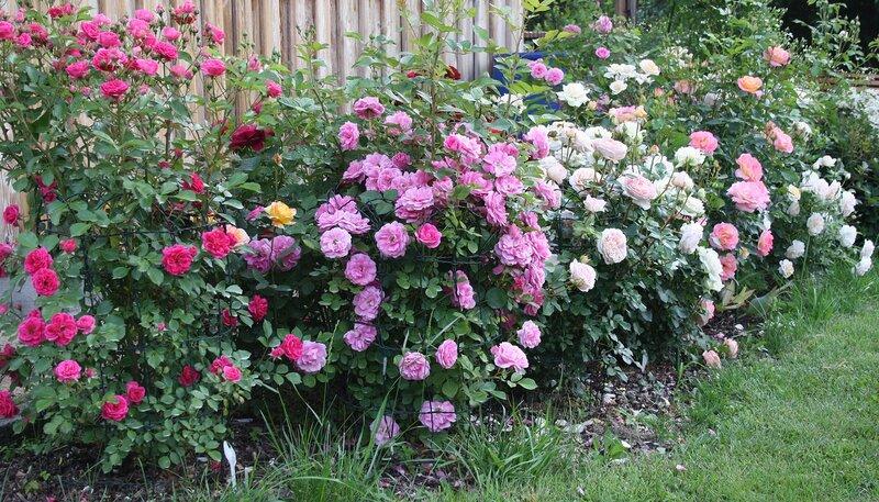 Роза Эльмшорн, мускусный гибрид (Elmshorn) Кордес 1951, роза Моден Сентениал, шраб (Morden Centennial) Marshall, 1980 , роза Абрахам Дерби, английская , чайно-гибридные розы