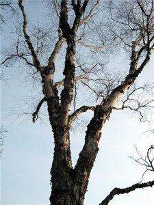 Берёза бумажная (Betula papyrifera)Альбом: лесные растения