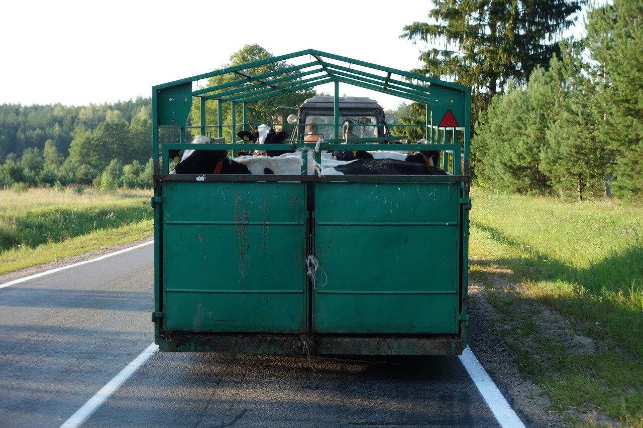 коровы в кузове