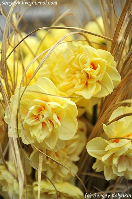 Narcissus Angelica.JPG