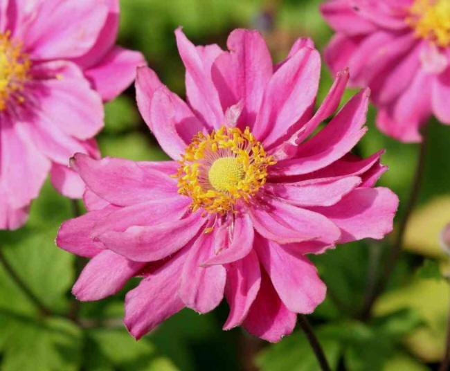 яскраві рожеві квіти