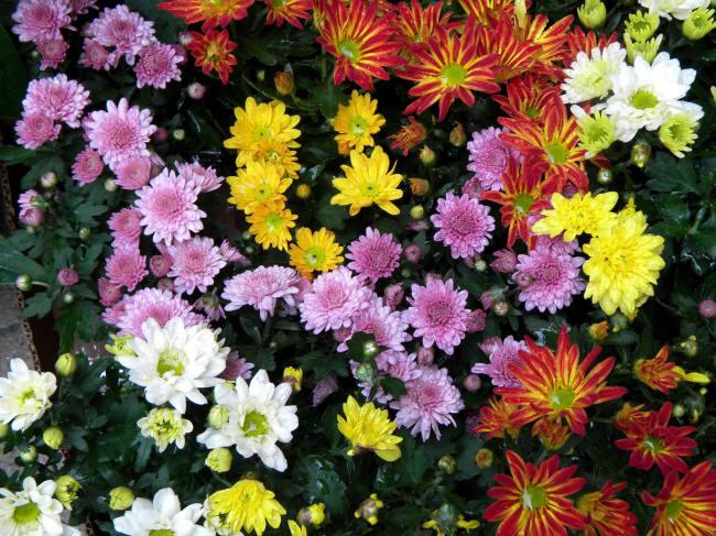 кущові хризантеми