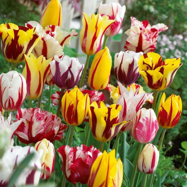 тюльпани сорт рембрант