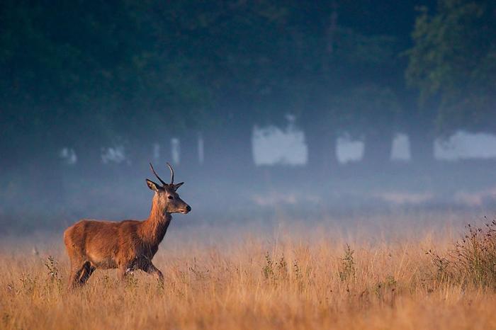 Молодой олень идет по золотистой траве туманным утром.