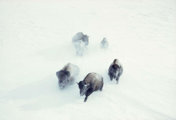 Бизоны пробираются сквозь снежную метель в Йеллоустонском национальном парке, ноябрь 1967 года.