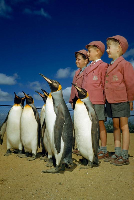 Мальчики в школьной форме позируют с королевскими пингвинами в Лондонском зоопарке, 1953 год.