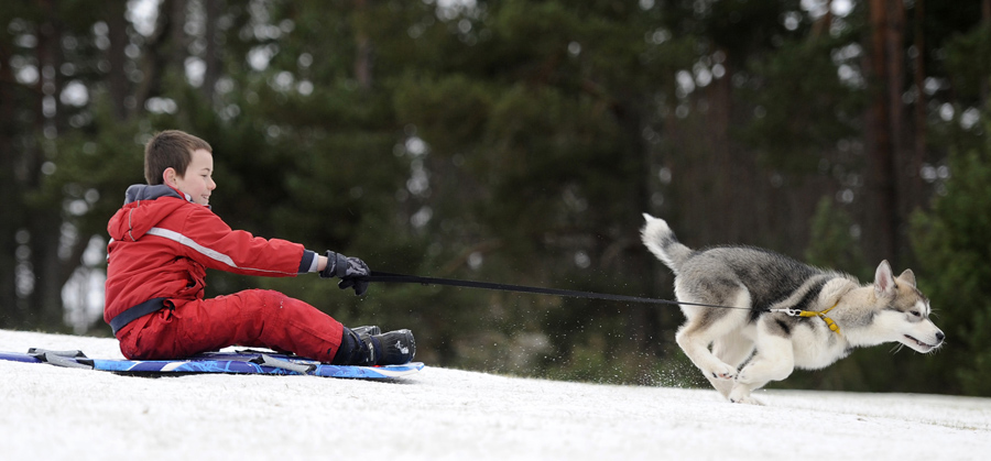 Marco Ezzi is towed on his sled by a husky puppy as preparations are made for the 29th annual Aviemo