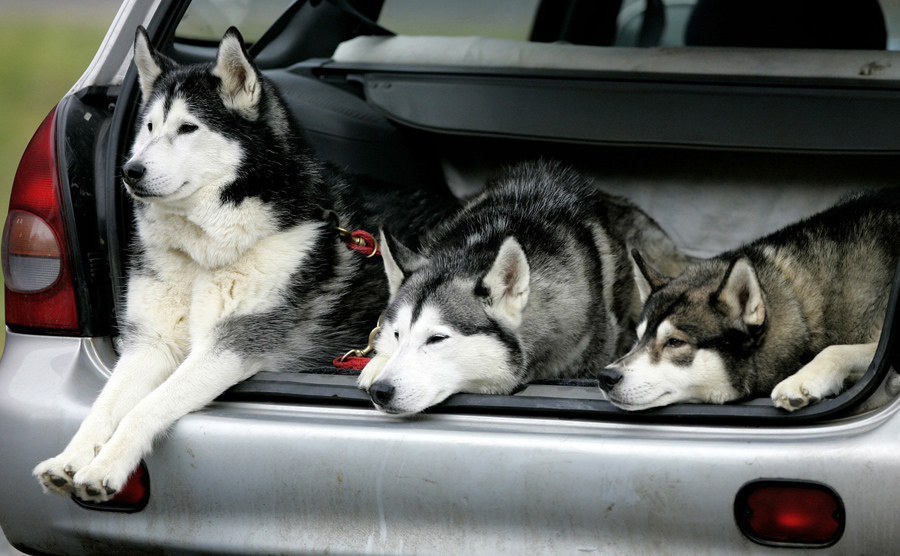 Siberian huskies rest before a practice run in Glenmore Forest Park in Aviemore, Scotland, on Januar
