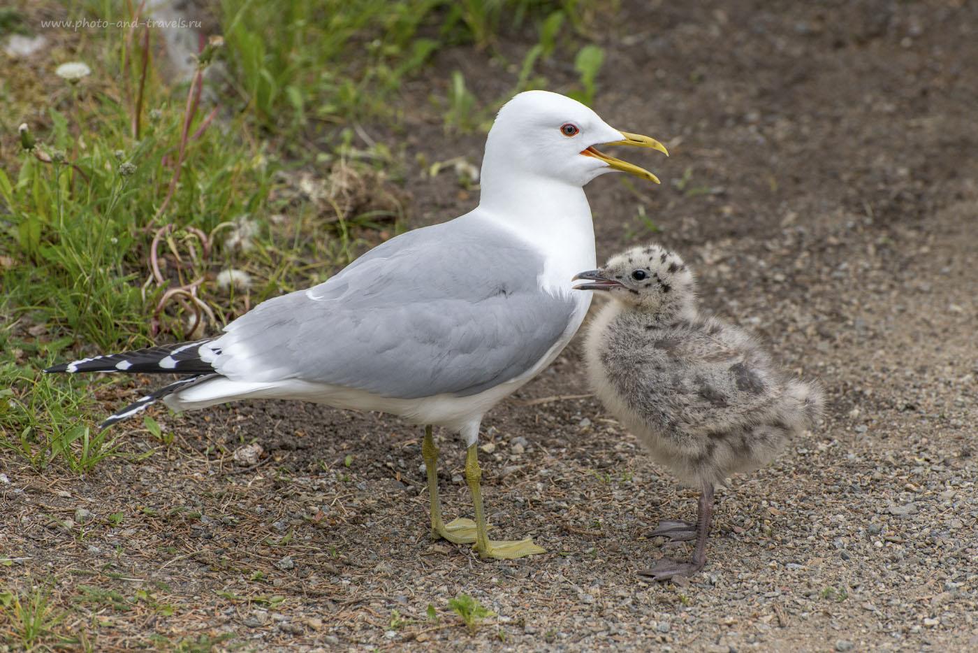Фотография 7. Для фотоохоты на мелких птиц лучше подойдет режим «Групповая АФ». В камере Никон Д800 его нет, но и «Динамическая АФ» работает у нее отлично. 1/1400, 0.67, 8.0, 640, ФР=200 мм.